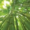 Afacerea secolului: plantatia de bambus-gigant