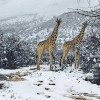 S-a sucit vremea: girafe in zapada