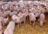 Dragne, retinut! Ce se afla in spatele anchetei de la ferma de porci