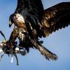 Dronele, mai tari decat vulturii
