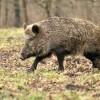Mistret cu pesta porcina, gasit mort pe un fond de vanatoare din Botosani