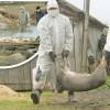 927 focare de pesta porcina africana