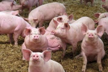 Spania, acuzată că a adus pesta porcină africană în România