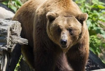 Sfidarea UE. Urșii, mai importanți decât viața românilor
