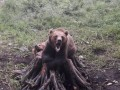 Le-au sarit in ajutor unor turisti straini surprinsi de ursi pe munte, la Sinaia
