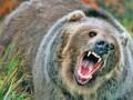 Inconștiență! Urșii, ademeniți la pensiuni pentru distracția turiștilor