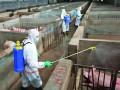 Cum rezolvă Bulgaria pesta porcină