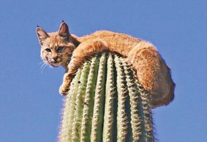 jaguar 3 copy 300x206 S a suit mata in cactus