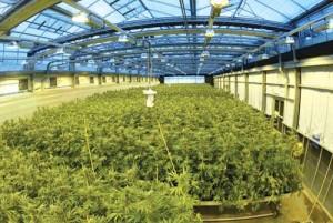 sere marijuana GW Farmaceuticals 300x201 Marijuana trateaza scleroza in placi si cancerul mamar