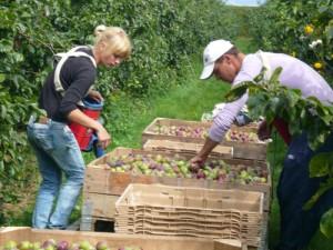 pomicultura prune 300x225 Noi contribuabili obligati la plata CASS