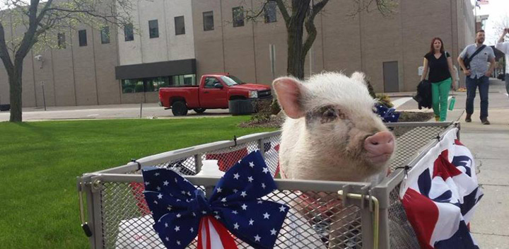 porc 1 Un porc, in cursa pentru un post de primar in Michigan