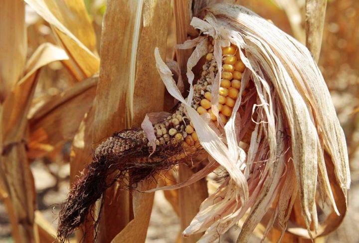 porumb stricat Harta secetei din agricultura romaneasca