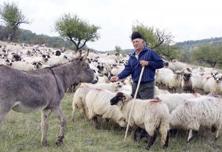 cioban oi magar Pierdem cinci miliarde de euro pe an din cauza ierbii