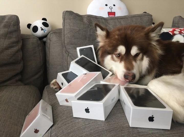 telefoane caine 3 Fiul unui miliardar i a cumparat cainelui sau opt telefoane iPhone 7!