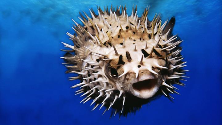 Puffer Fish  Cele mai scumpe alimente din lume