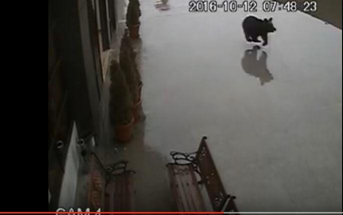ursss Noi imagini din Sibiu, cu mai multi oameni ferindu se din calea ursului (VIDEO)