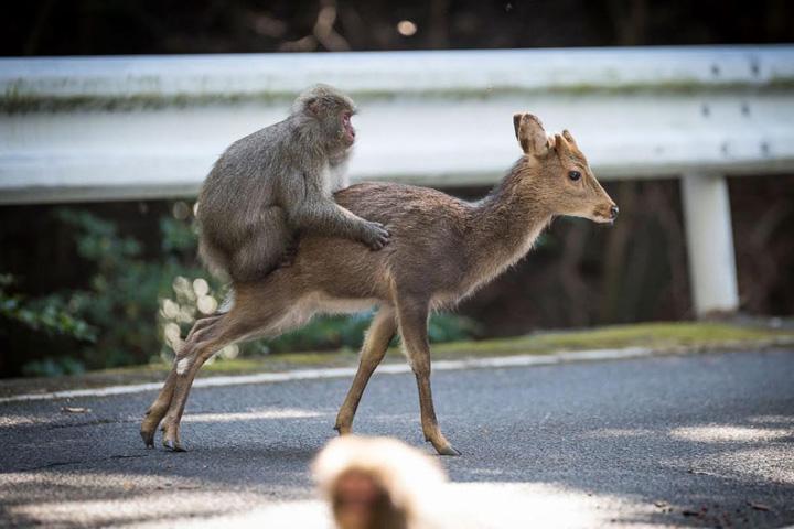 maimuta si caprioara Maimutele se descurca