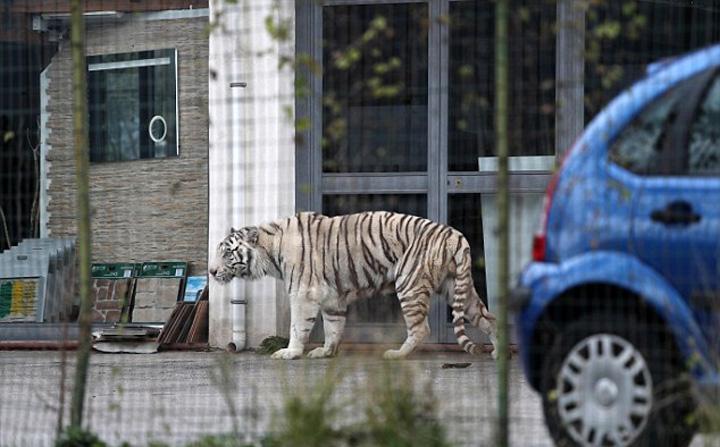 tigru1 Un tigru a terorizat Palermo