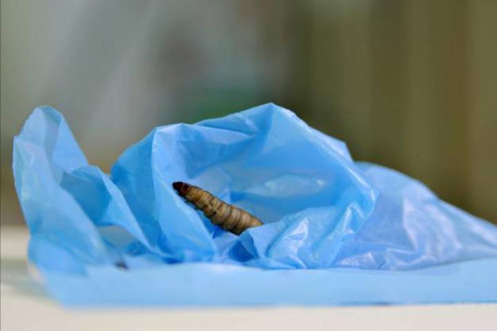 larva Larva mancatoare de plastic, salvarea mediului