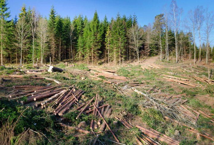 Holzindustrie Schweighofer defrisari jpg 720x486 Schweighofer renunta la exploatarea padurilor virgine