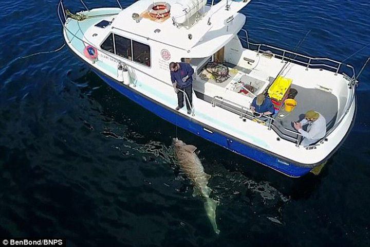 barca 720x480 Au prins cel mai mare rechin din Europa
