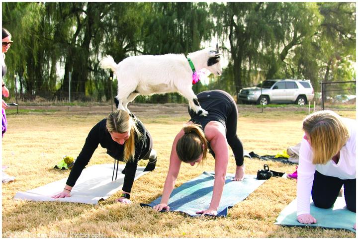 capre1 Yoga cu capre, ultima fita in SUA