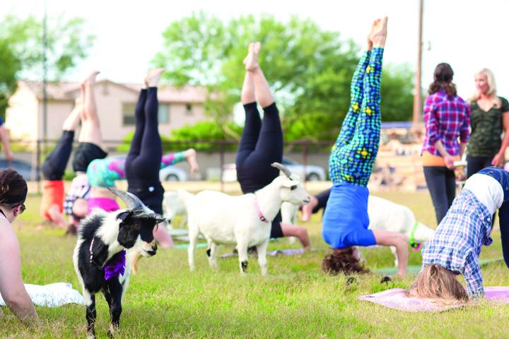 capre3 Yoga cu capre, ultima fita in SUA