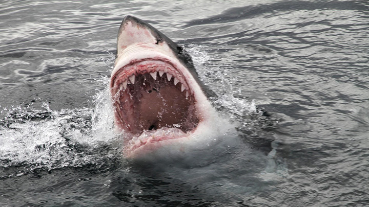 marele alb rechin Phelps, competitie cu un rechin