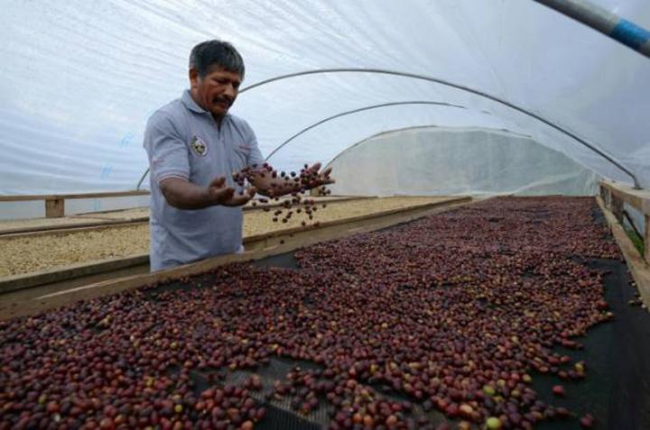cafea Schimbarile climatice ne lasa fara cafea