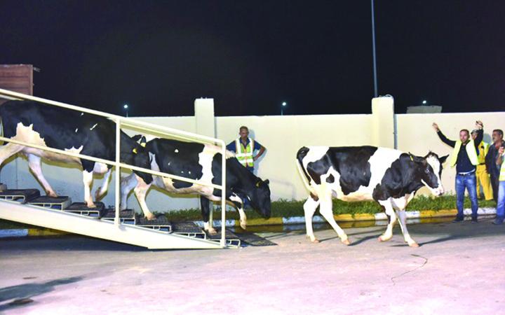vaci mare Vacile unguresti au ajuns in Qatar