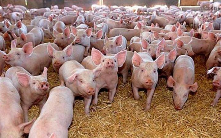 ferma porci Dragne, retinut! Ce se afla in spatele anchetei de la ferma de porci