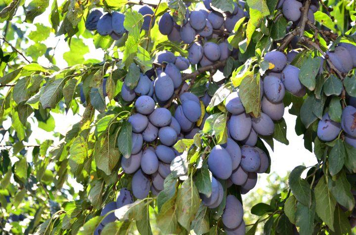 prune in parga 720x477 Isarescu, paznic la prune!