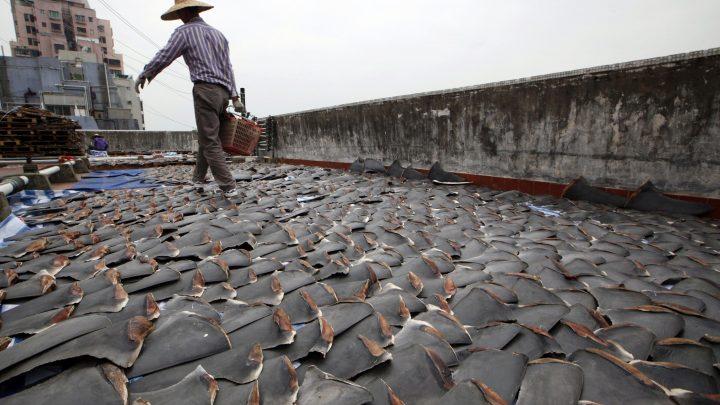 rechin 1 720x405 Contrabanda cu rechini!