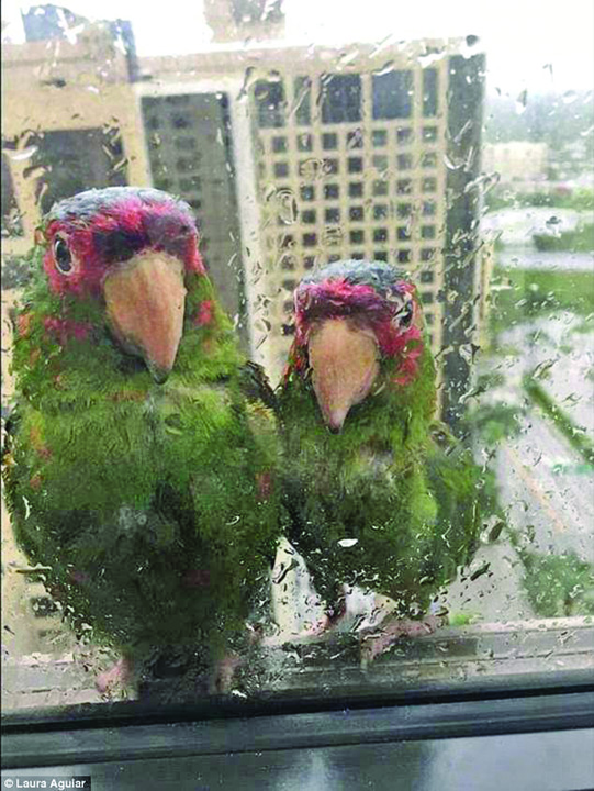 21552612 854323398066995 637252399 n Doi papagali adevarati din Florida, plus unul absolut ridicol din Anglia