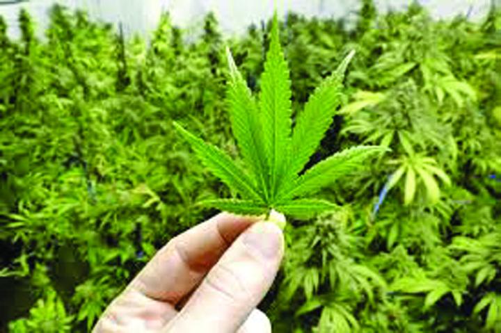 marijuana Marijuana, nr. 1 la mare