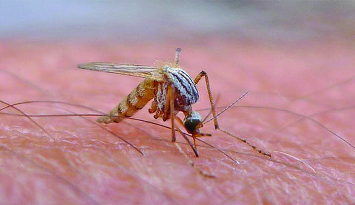 tantar West Nile s a infiltrat in Capitala!