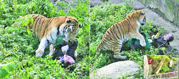 23335636 883663371799664 1192899107 o Cumplit! Angajata de la Zoo, atacata de un tigru siberian in timp ce i aducea de mancare