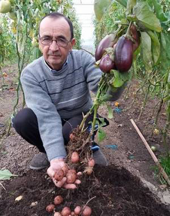 Un agricultor din Romania a obtinut o planta care produce in acelasi timp si cartofi si vinete 1 Un agricultor roman a inventat planta cartofo vinete