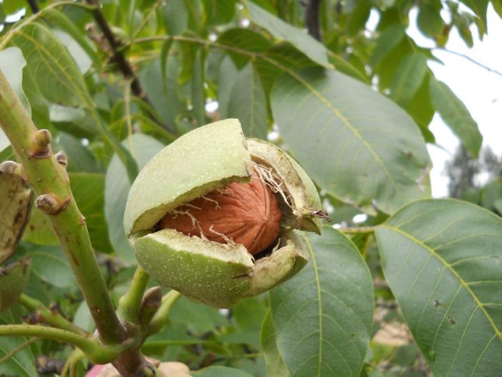 pom nuc 19399 Un judecator a dat voie nucilor sa cada din pom
