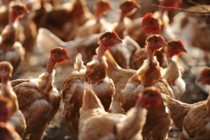 gaini 1 720x479 Focar de gripa aviara in Olanda