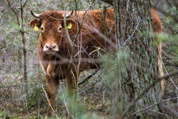 vaca 350x234 A fugit de abator si a devenit vedeta nationala