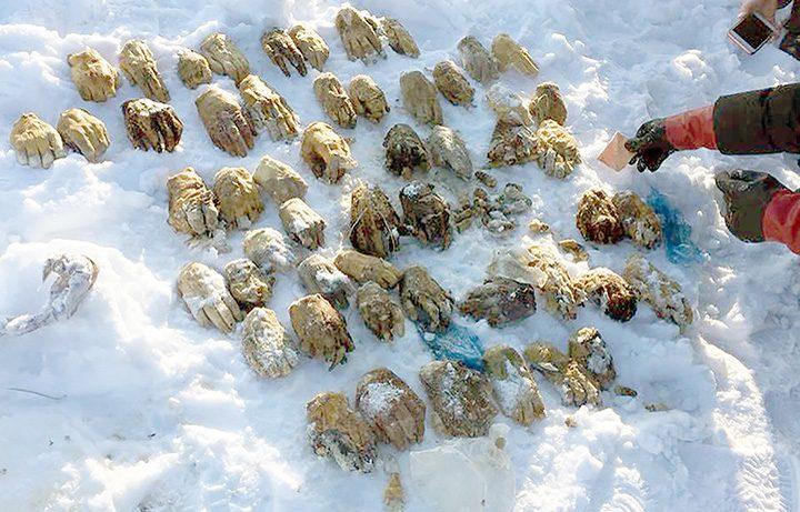 maini 720x461 54 de maini taiate, descoperite in Siberia