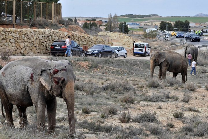2 1 720x481 S a rasturnat camionul cu elefanti
