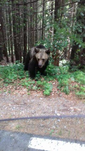 urs 281x500 Muscata de urs, in zona Lacului Sf. Ana. Turista ar fi vrut un selfie