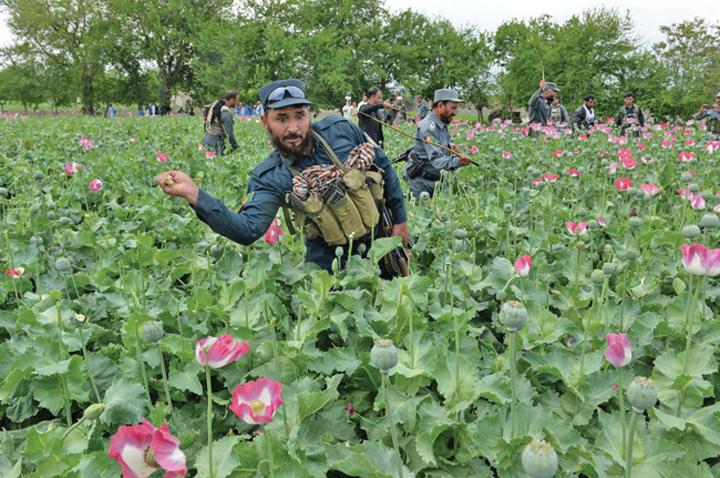 afganistan Productiile de opiu si cocaina au explodat