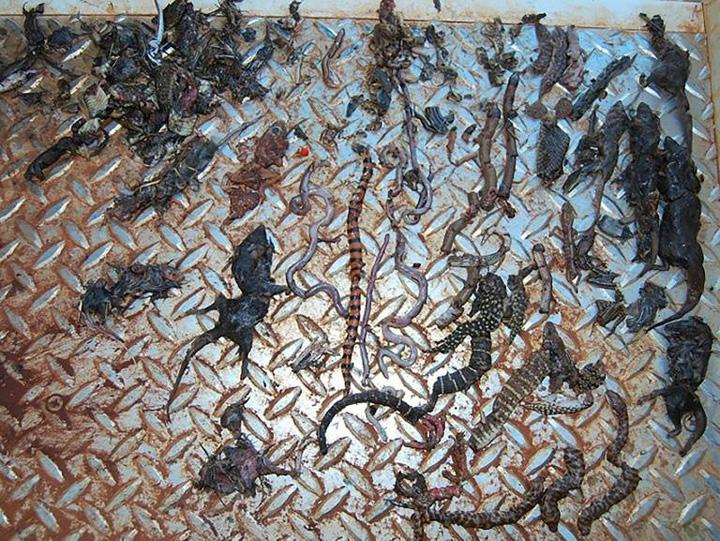 reptile Australia: pisicile ucid 1 milion de reptile pe zi