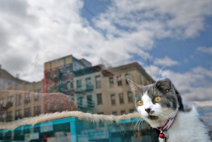 pisici Londra isi numara lebedele, iar Washington pisicile
