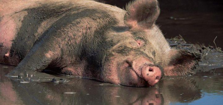 pesta porcina 1 720x338 Pesta porcina a venit pe Dunare