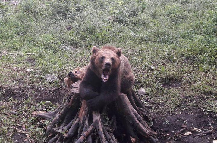 ursi 720x476 Ingrijitori atacati de ursi, la Zoo