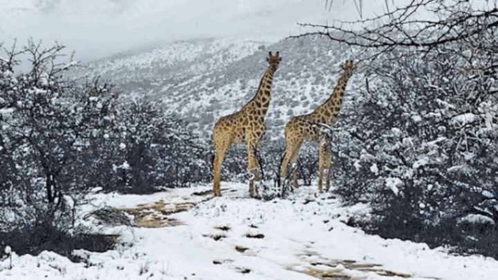 g 1 S a sucit vremea: girafe in zapada